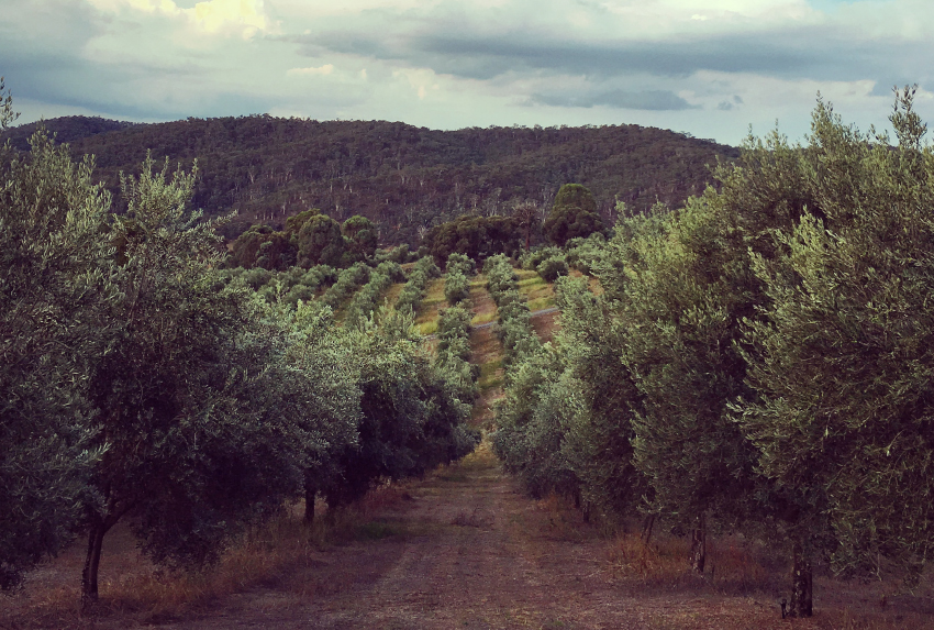 """The """"super plant"""" qualities of the olive tree"""