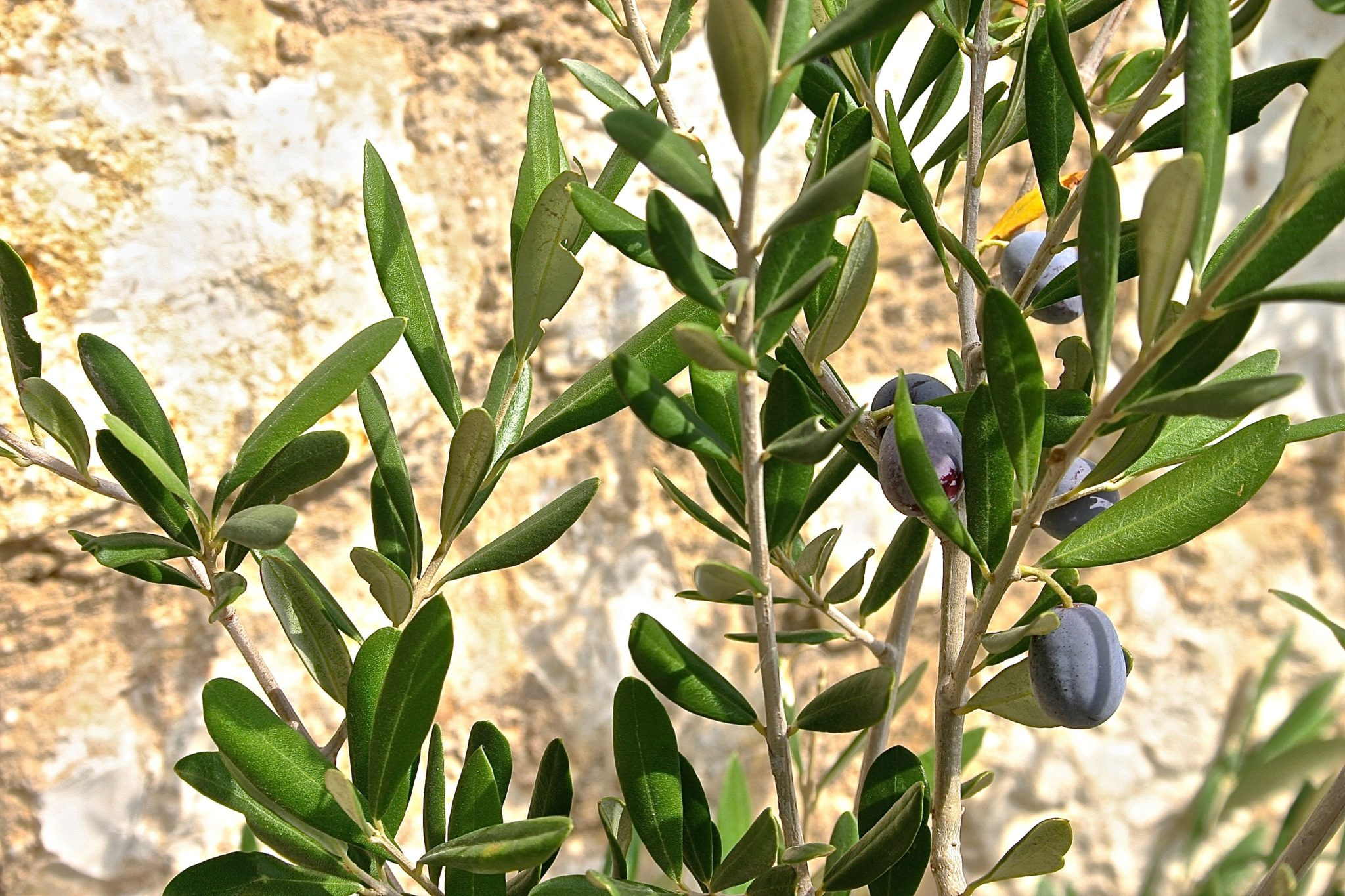 Antioxidants found in olive leaf extract