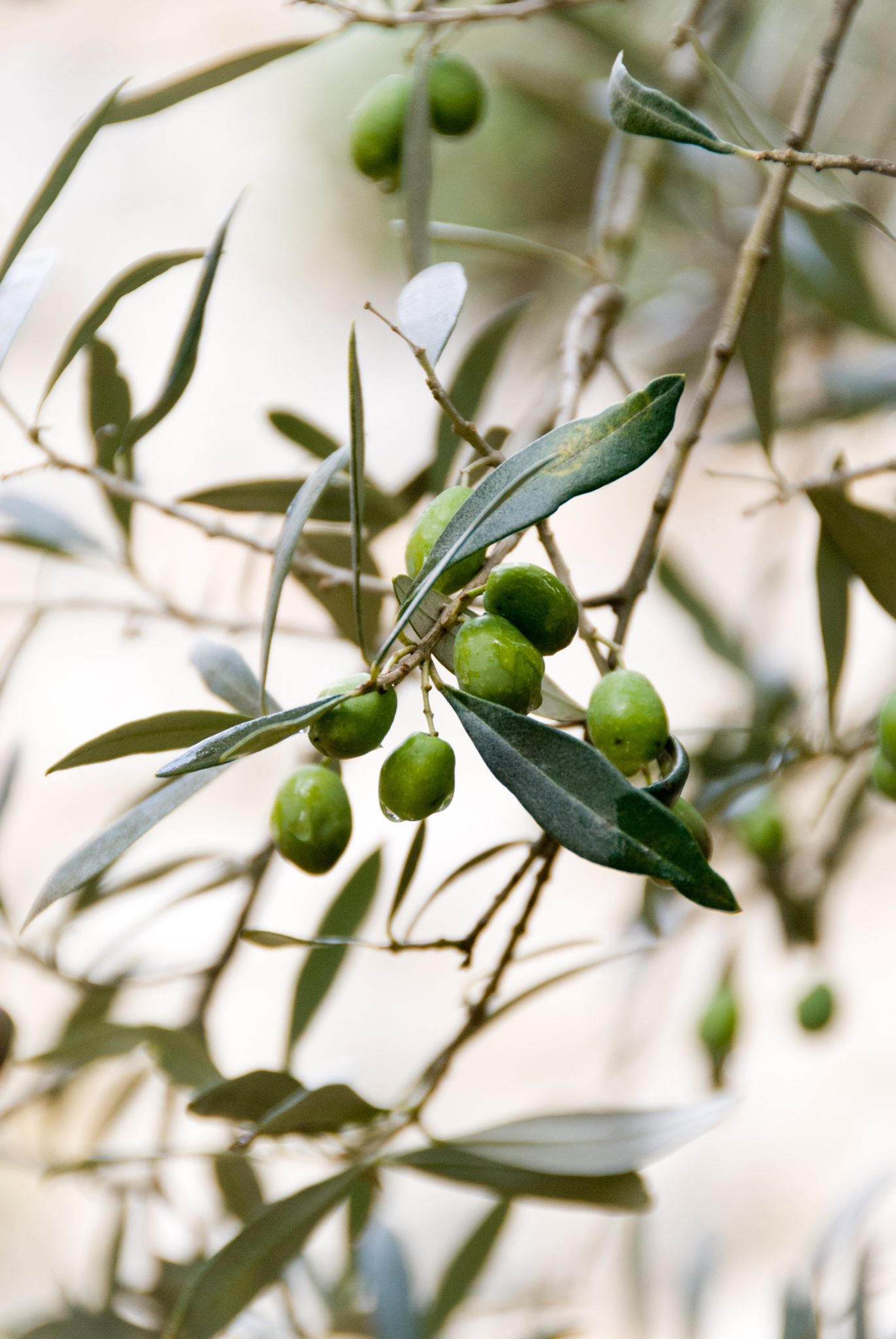 The Potential of Olive Products to Reduce Inflammation