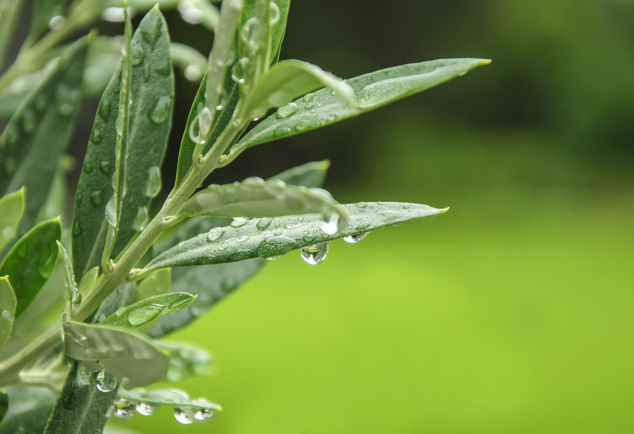 The many health benefits of Olive Leaf Extract