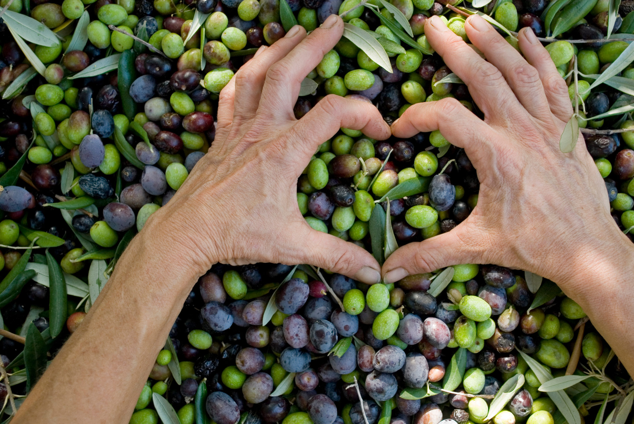 Heart Health benefits of olive oil and olive leaf that you can't ignore!
